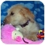 Photo 3 - Terrier (Unknown Type, Small)/Norfolk Terrier Mix Puppy for adoption in Broomfield, Colorado - Julien MacDonald