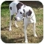Photo 3 - Great Dane Dog for adoption in Hanover, Maryland - Boo