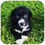 Photo 1 - Border Collie/Newfoundland Mix Puppy for adoption in Santa ana, California - PIXIE