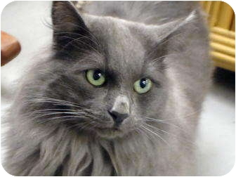 Turkish Angora Cat for adoption in Quail Valley, California - Flint