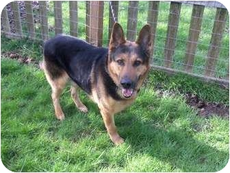 German Shepherd Dog Mix Dog for adoption in Salem, Oregon - Alex
