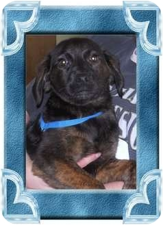 Labrador Retriever/Shepherd (Unknown Type) Mix Puppy for adoption in Belvidere, Illinois - Patricia