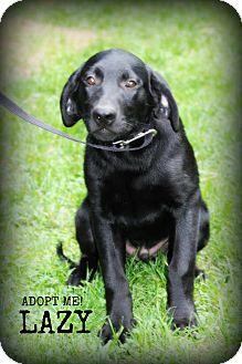 Labrador Retriever Puppy for adoption in mishawaka, Indiana - Dash