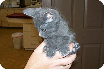 Domestic Shorthair Cat for adoption in Dayton, Nevada - Smokey