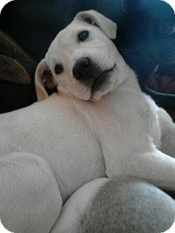 Labrador Retriever Mix Puppy for adoption in Hollis, Maine - LACEY*courtesy post*