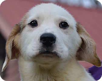 Great Pyrenees Mix Puppy for adoption in Allentown, Pennsylvania - Thunder