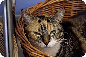 Domestic Shorthair Cat for adoption in Chicago, Illinois - Dove