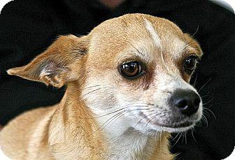 Chihuahua Dog for adoption in Berkeley, California - Pippa