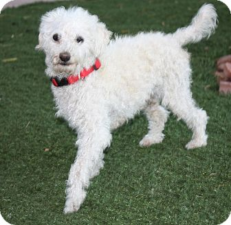 Toy Poodle Dog for adoption in Henderson, Nevada - Rooney