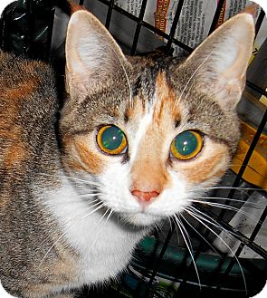 Calico Cat for adoption in Chattanooga, Tennessee - Madelaine