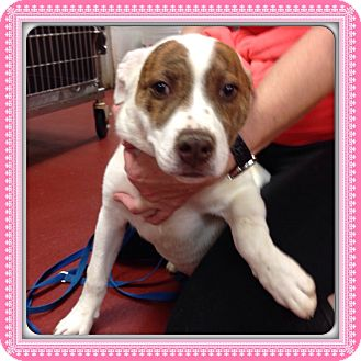 Pit Bull Terrier Mix Puppy for adoption in Marietta, Georgia - ZOEY