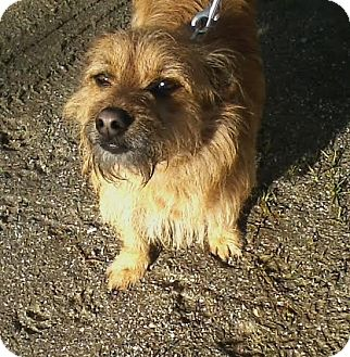 Cairn Terrier/Terrier (Unknown Type, Small) Mix Dog for adoption in Edisto Island, South Carolina - Winston