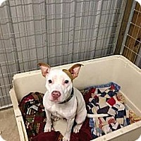 Adopt A Pet :: Belle - Spring City, PA