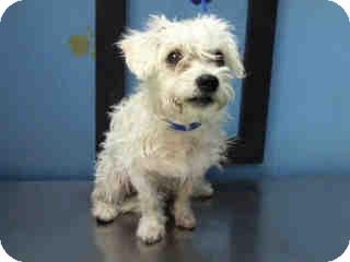 Schnauzer (Miniature)/Poodle (Miniature) Mix Dog for adoption in Boulder, Colorado - Kimmie-ADOPTION PENDING