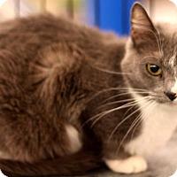 Domestic Shorthair Cat for adoption in Sacramento, California - Lola