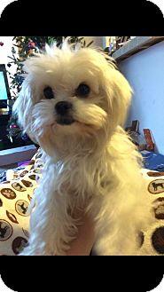 Maltese Mix Dog for adoption in Glastonbury, Connecticut - Boosky