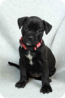Labrador Retriever/American Pit Bull Terrier Mix Puppy for adoption in Westminster, Colorado - Rumor