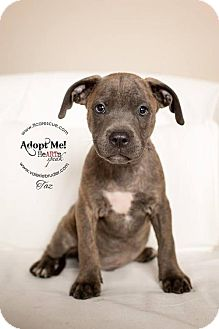 Pit Bull Terrier Dog for adoption in Runnemede, New Jersey - Reese