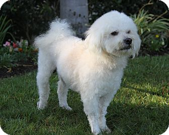 Bichon Frise/Poodle (Miniature) Mix Dog for adoption in Newport Beach, California - JAMISON