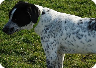 German Shorthaired Pointer Mix Dog for adoption in Howell, Michigan - Hunter
