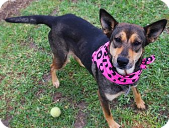 German Shepherd Dog/Husky Mix Dog for adoption in Littleton, Colorado - KIT KAT