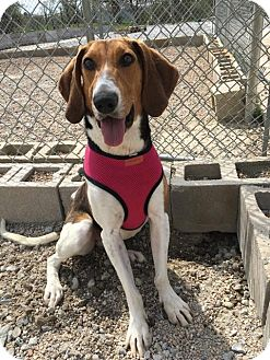 Coonhound Mix Dog for adoption in Frankfort, Illinois - Ellie Mae