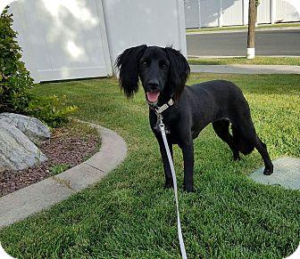 Spaniel (Unknown Type) Mix Dog for adoption in Ogden, Utah - Millie