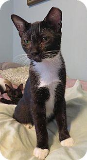 Domestic Shorthair Kitten for adoption in Ellicott City, Maryland - .Stella