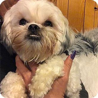 Shih Tzu/Maltese Mix Dog for adoption in Redondo Beach, California - Murphy-ADOPT Me!