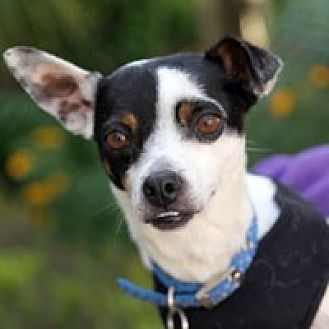 Rat Terrier/Chihuahua Mix Dog for adoption in Pacific Grove, California - Sid