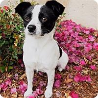 Adopt A Pet :: Eva - La Mirada, CA
