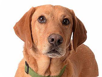 Basset Hound/Labrador Retriever Mix Dog for adoption in Salt Lake City, Utah - Wrigley