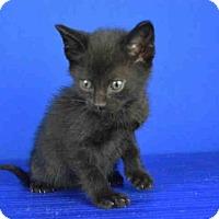 Adopt A Pet :: SHADOW - Norman, OK