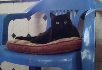 Domestic Shorthair/Domestic Shorthair Mix Cat for adoption in Las Cruces, New Mexico - Fancy