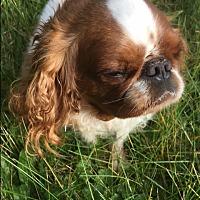 Adopt A Pet :: Myla - Cumberland, MD