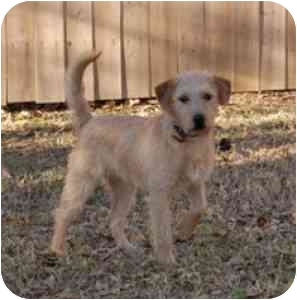 Terrier (Unknown Type, Medium) Mix Dog for adoption in College Station, Texas - Crew