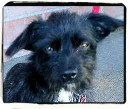 Terrier (Unknown Type, Small) Mix Dog for adoption in Los Angeles, California - Raisin