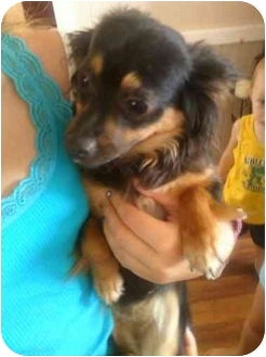 Chihuahua Dog for adoption in East Brunswick, New Jersey - ADOPTED