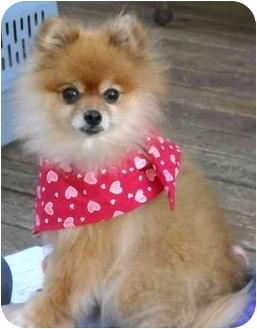 Pomeranian Dog for adoption in Salem, Oregon - Ginger Pom