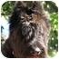 Photo 1 - Schnauzer (Giant) Dog for adoption in EASLEY, South Carolina - JENZEN
