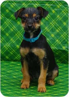 Miniature Pinscher/Dachshund Mix Puppy for adoption in Westminster, Colorado - DEGAS