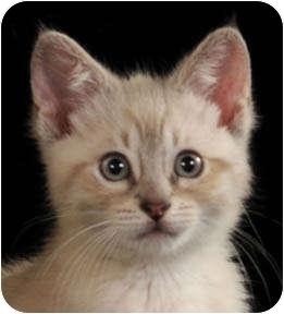 Siamese Kitten for adoption in Chicago, Illinois - Pea and Pod