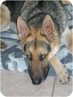 German Shepherd Dog Mix Dog for adoption in Rochester/Buffalo, New York - Austin