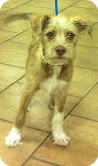 Schnauzer (Miniature)/Terrier (Unknown Type, Small) Mix Puppy for adoption in Oswego, Illinois - Cody