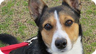 Australian Shepherd/Border Collie Mix Dog for adoption in Scottsdale, Arizona - Sadie Brown