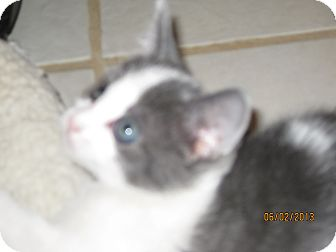 Russian Blue Kitten for adoption in Concord, Georgia - Abby