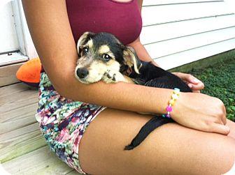 Schnauzer (Miniature) Mix Puppy for adoption in Waldorf, Maryland - Lulu