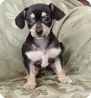 Beagle/Jack Russell Terrier Mix Puppy for adoption in La Habra Heights, California - Pepper