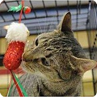 Domestic Shorthair Cat for adoption in New York, New York - Simba