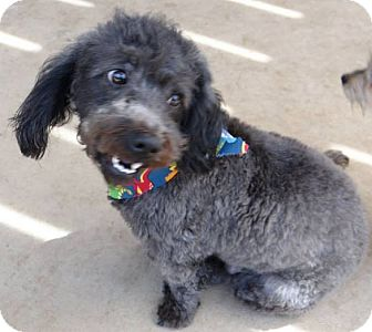 Poodle (Miniature)/Lhasa Apso Mix Dog for adoption in Inland Empire, California - CRAIG